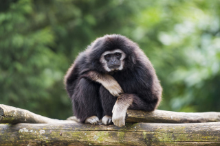 Gibbon Primate Wallpaper for Android, iPhone and iPad