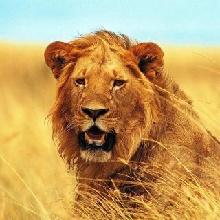 Lion 4K Ultra HD - Obrázkek zdarma pro iPad mini 2