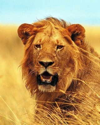 Lion 4K Ultra HD - Obrázkek zdarma pro 360x480