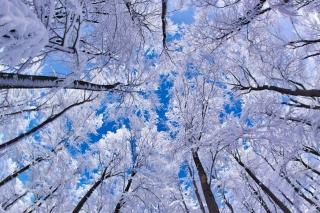 Winter Trees - Obrázkek zdarma pro Android 2560x1600