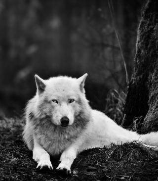 White Wolf - Obrázkek zdarma pro 768x1280