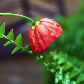 Red Poppy with Ddew - Obrázkek zdarma pro iPad 2