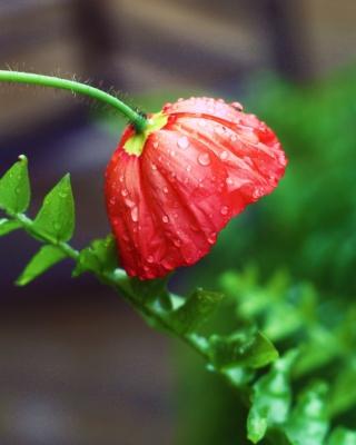Red Poppy with Ddew - Obrázkek zdarma pro 240x400