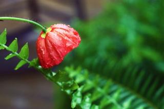 Red Poppy with Ddew - Obrázkek zdarma pro HTC One X