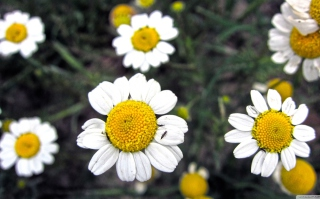 Free Daisies Picture for Android, iPhone and iPad
