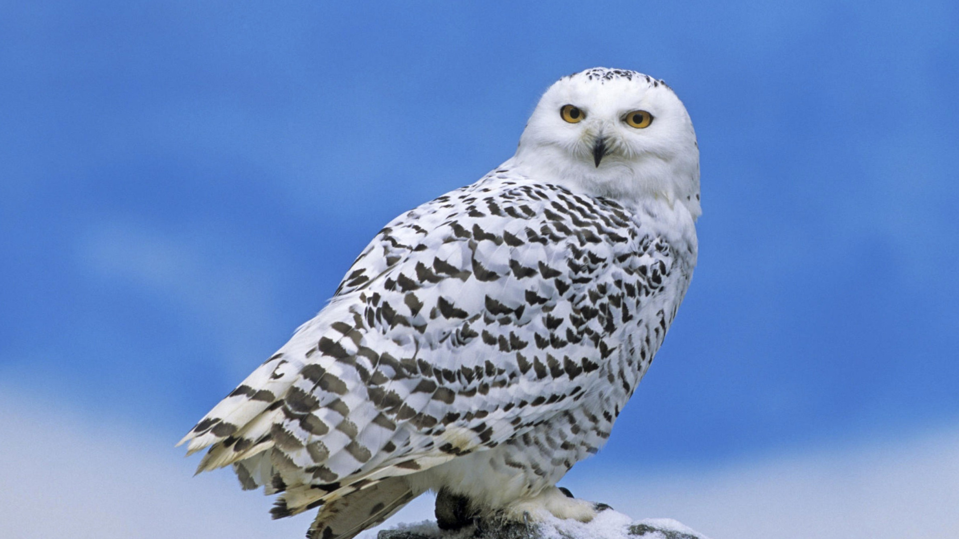 Snowy owl from Arctic Wallpaper for Desktop 1920x1080 Full HD