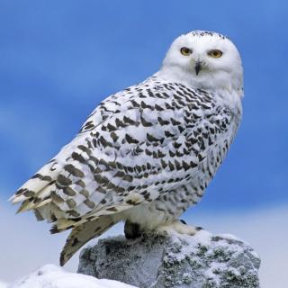 Snowy owl from Arctic - Obrázkek zdarma pro 1024x1024
