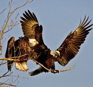 Bird Of Prey With Hooked Beak - Obrázkek zdarma pro 1024x1024