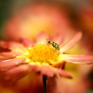 Ladybug and flower - Obrázkek zdarma pro 208x208