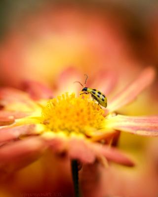 Ladybug and flower - Obrázkek zdarma pro Nokia C2-02