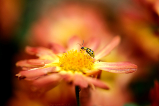 Ladybug and flower Background for Android, iPhone and iPad