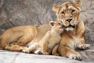 Lion Family - Obrázkek zdarma pro Samsung Galaxy Note 4