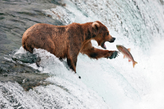 Free Big Brown Bear Catching Fish Picture for Android, iPhone and iPad