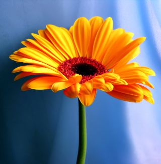 Orange Gerbera Daisy - Obrázkek zdarma pro 128x128