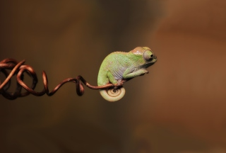 Free Chameleon On Stick Picture for Android, iPhone and iPad