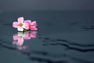 Free Pink Flowers On Water Picture for Android, iPhone and iPad