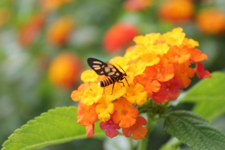 Bee On Orange Flowers Wallpaper for Android, iPhone and iPad