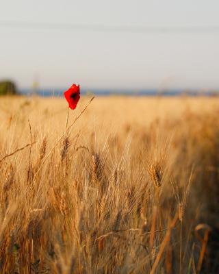 Wheat and Stack - Obrázkek zdarma pro Nokia X6