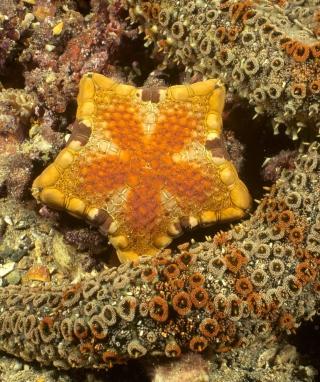 Octopus In Ocean - Obrázkek zdarma pro Nokia C-Series