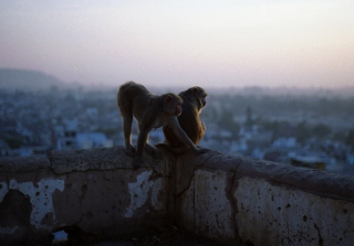 Monkeys Wallpaper for Android, iPhone and iPad