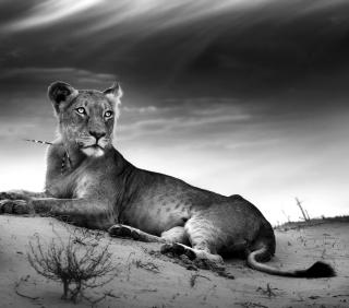 Lioness - Obrázkek zdarma pro iPad Air
