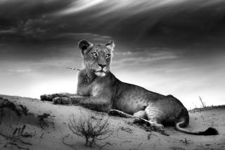 Lioness Background for Android, iPhone and iPad