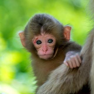 Monkey Baby - Obrázkek zdarma pro 208x208