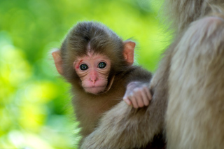 Monkey Baby Background for Android, iPhone and iPad