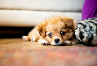 Free Sad Puppy Picture for Android, iPhone and iPad