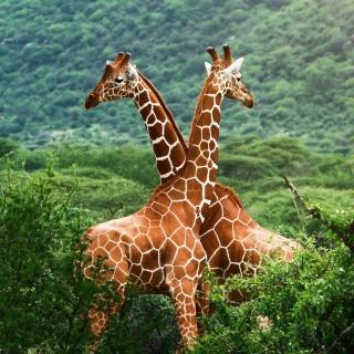 Giraffes in The Zambezi Valley, Zambia - Obrázkek zdarma pro 320x320