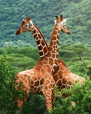 Giraffes in The Zambezi Valley, Zambia - Obrázkek zdarma pro Nokia Asha 310