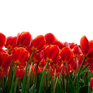 Red Tulips - Obrázkek zdarma pro 128x128
