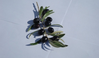 Free Olive Branch With Olives Picture for Android, iPhone and iPad