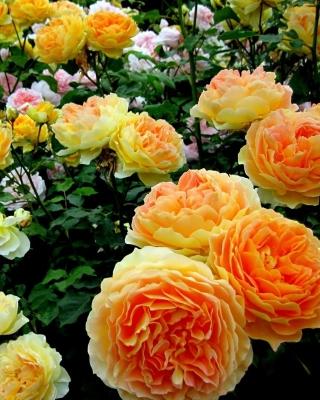 Rosebush - Obrázkek zdarma pro 320x480