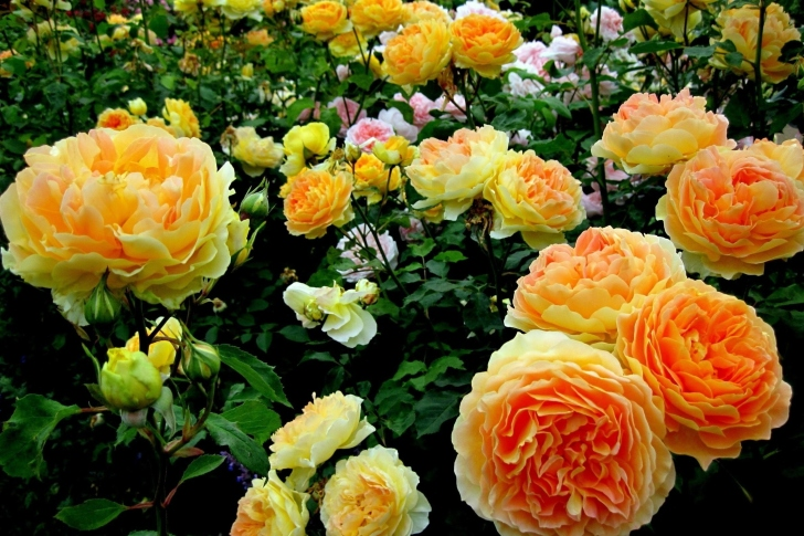Rosebush wallpaper