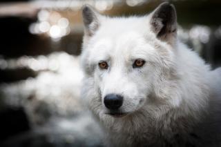 White Wolf - Obrázkek zdarma pro Fullscreen Desktop 1280x960
