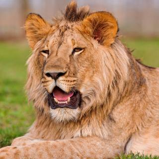 Lion in Mundulea Reserve, Namibia - Obrázkek zdarma pro iPad mini 2