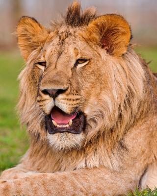 Lion in Mundulea Reserve, Namibia - Obrázkek zdarma pro 240x400