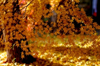Free Autumn Leaves Lace Picture for Android, iPhone and iPad