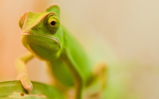 Free Green Chameleon Picture for Android, iPhone and iPad