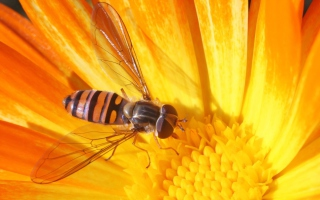 Bee On Flower Background for Android, iPhone and iPad