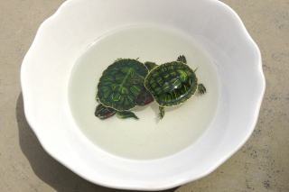 Free Green Turtles In Plate Picture for Android, iPhone and iPad