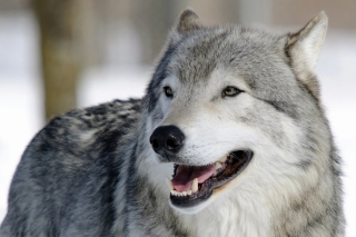 Wolf Muzzle Wallpaper for Android, iPhone and iPad