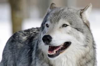 Wolf Muzzle - Obrázkek zdarma pro Nokia C3