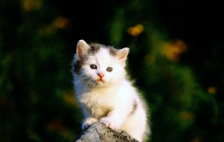 Free White Kitten Picture for Android, iPhone and iPad