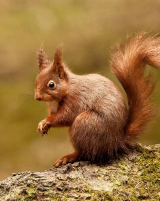 Squirrel - Obrázkek zdarma pro Nokia Asha 202