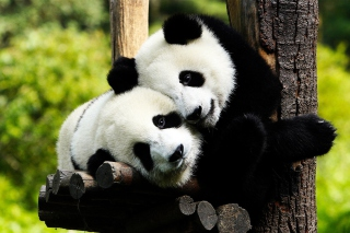 Two Panda Bears Background for Android, iPhone and iPad