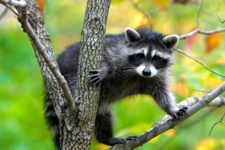 Raccoon In A Tree Wallpaper for Android, iPhone and iPad