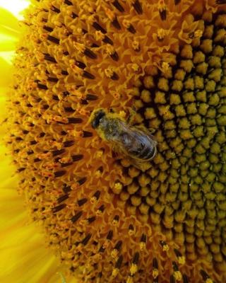 Fly On Sunflower - Obrázkek zdarma pro 240x400
