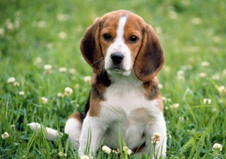 Beagle Dog Picture for Android, iPhone and iPad